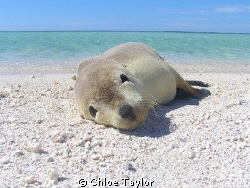 How Cute ;) Abrolhos Islands by Chloe Taylor 